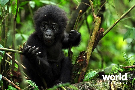 Magic of the Mountain Gorillas