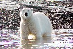 Polar Bears and Glaciers of Baffin Island