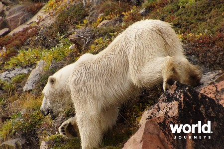 Spring Polar bears & Icebergs of Baffin