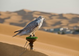 Falcon, United Arab Emirates