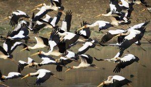 Flying flock of storks, Zambia