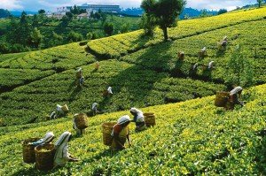 Tea Picking, Indian Subcontinent
