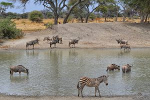 Zebra, Tarangire National Park
