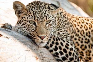 Leopard, Sabi Sabi Private Game Reserve