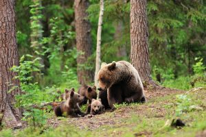 Mother Bear and Cubs, BC