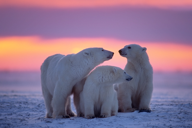 Polar Bear with yearling cubs, Arctic