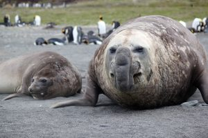 Male & Female Elephant Seal