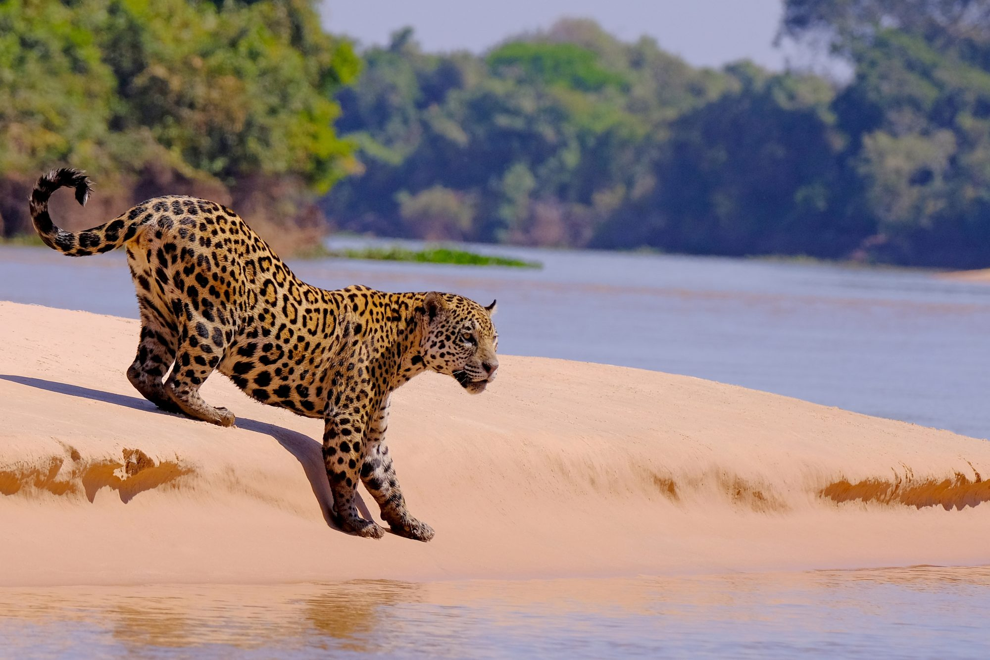 Jaguar on the hunt