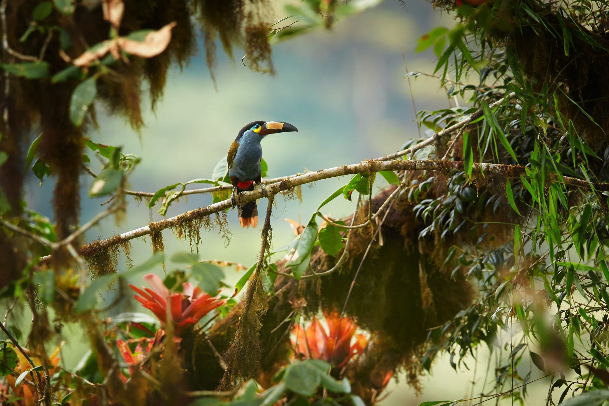 Plate-billed Mountain Toucan, Cloud Forest