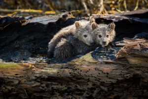Cuddly Cubs, Knight Inlet Lodge